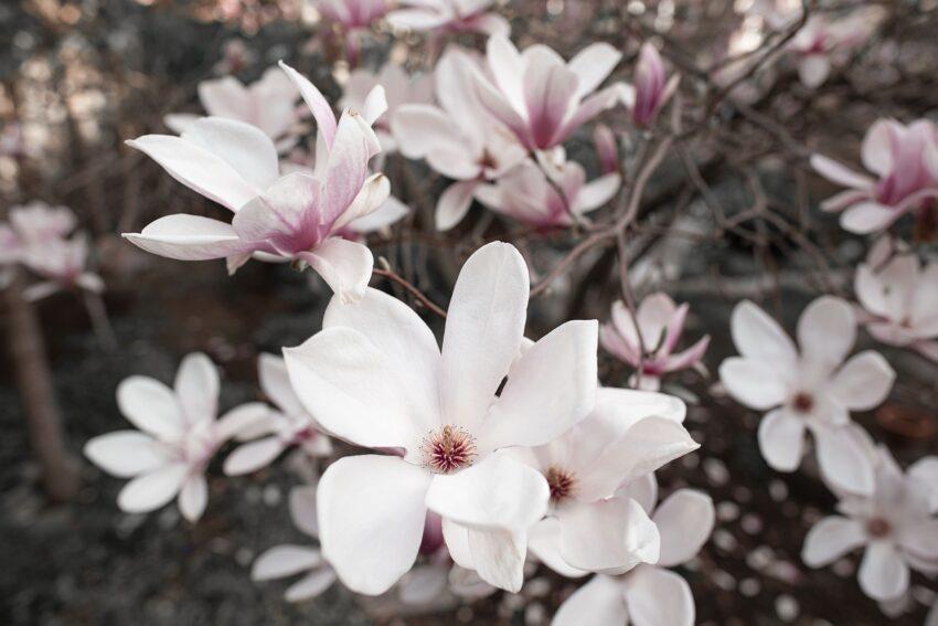 Magnolia Flowers Plant Petals  - ottawagraphics / Pixabay